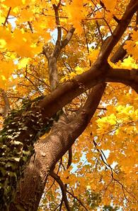 Our backyard maple, fall - Quakertown, PA  - 11/12/2014