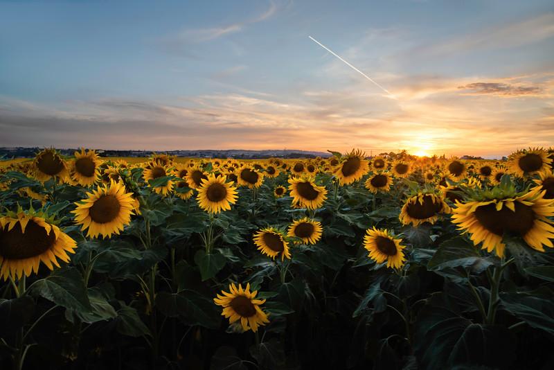 Sunflowers as far as the eye can see. Anguillara Sabazia, Rome, Italy.