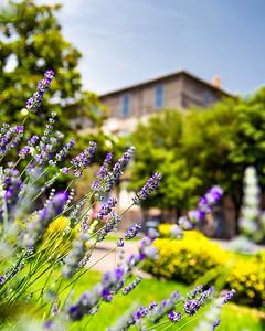 Lavender flowers in the main square of the town of Manziana, Tuscia Romana region, Rome