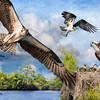 "Osprey ""Fisher Kings of the Loxahatchee"""