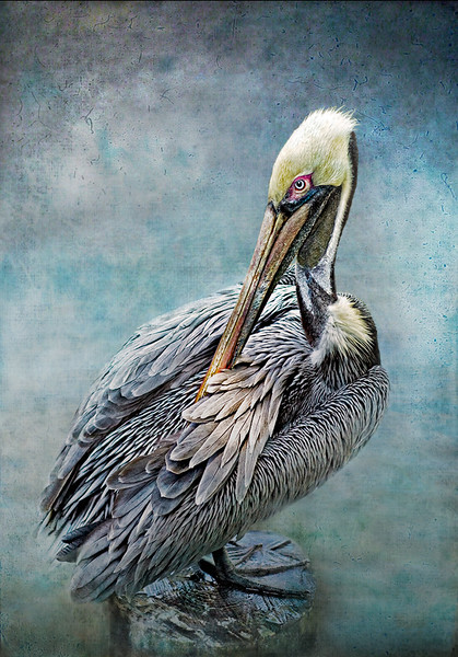 Pelican Preening