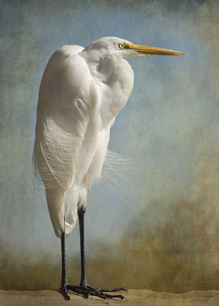 The Royal Egret