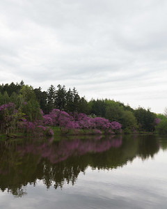Redbud trees in bloom reflected on Marmo Lake, Morton Arboretum, Lisle, IL