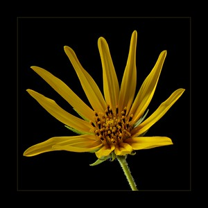 Wild sunflower III