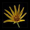 Wild sunflower III