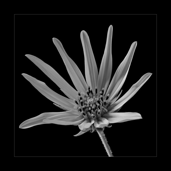 Wild sunflower II