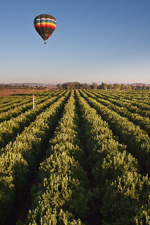 Hot-air balloon over orange grove, Temecula Valley, California