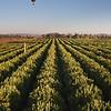 Hot-air balloon over orange grove, Temecula Valley, California