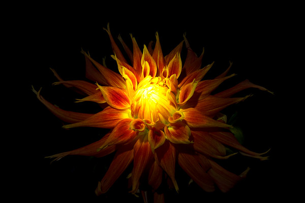 Western Spanish Dancer Dahlia-Nightshot