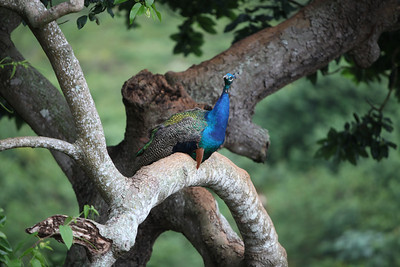 A nesting peacock found at a gem of a bird sanctuary in the mountains of central Jamaica.