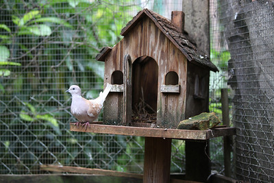 "A Jamaican Pea Dove relaxing ""at home""."