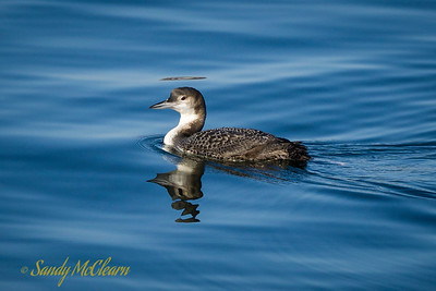 Juvenile loon in winter plumage.