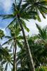 In the Palm Grove at the Historic Coco Palms Resort, Wailua, Kauai, Hawaii, June 2014.