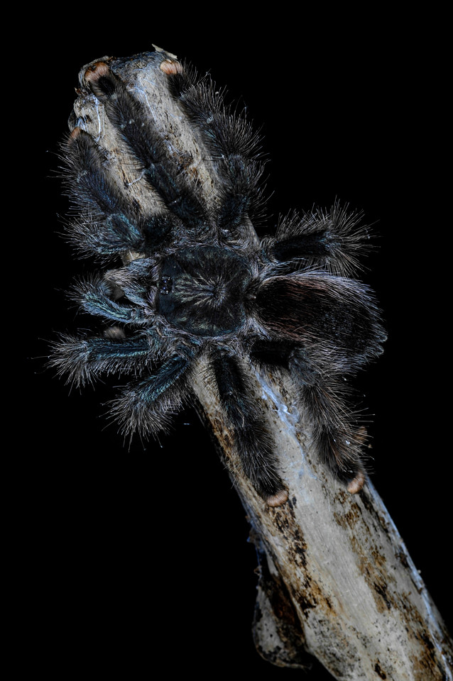 "Insect Zoo, National Museum of Natural History<br /> Pink Toe Tarantula<br /> Avicularia avicularia  ""Rosa Pineda, Smithsonian Institution"""