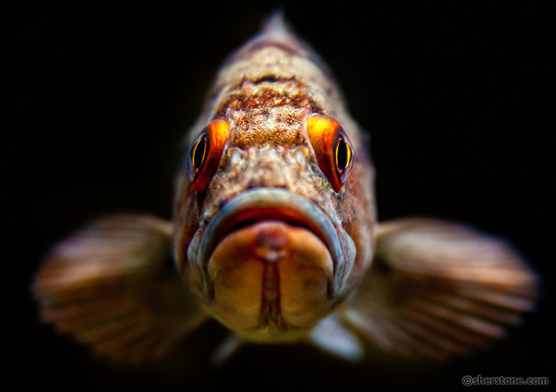 """""""Hello""""<br /> <br /> A very curious fish at the Shaw Ocean Discovery Centre in Sydney, BC."""