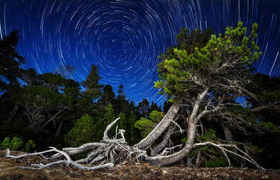 Polaris Pinus