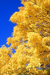 061110- Yellow Tree Blue Sky 1b