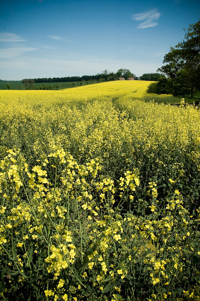 Mustard Field - Moors, North Yorkshire, UK