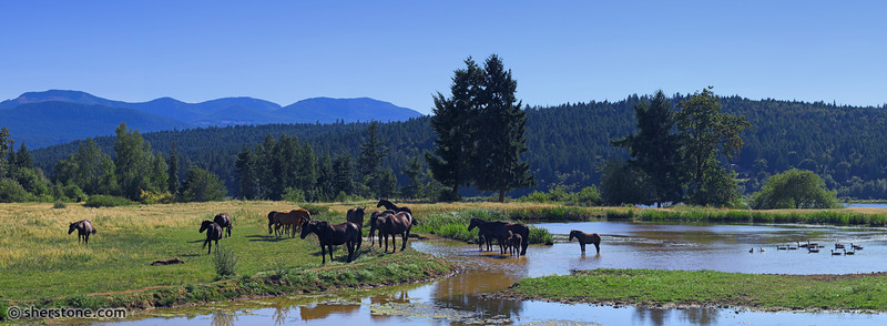 Canadian horse herd