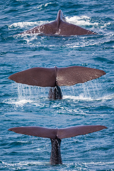 Sperm Whale Diving Sequence