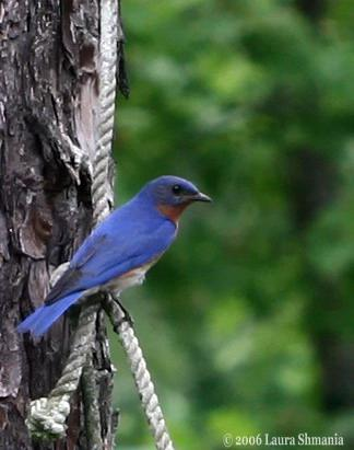 "6-12-06-- Monday-- here's one guy hanging from the rope above the bluebird house.  will keep you posted on the outcome.<br /> <br /> ""The population of the Eastern Bluebird declined seriously enough in the past century to reach critical status by the mid-1900s. <br /> The decline was due to:<br />    1. Habitat destruction (loss of fields and nesting cavities in split-rail fences)<br />    2. Pesticide use<br />    3. Nest predation by House Sparrows and European Starlings; both of which are non-native species introduced by humans<br /> <br /> Fortunately, the species was rescued by a network of birding enthusiasts who erected nesting boxes for Bluebirds, with close monitoring necessary to prevent House Sparrows from nesting in them. They remain threatened, however, with competition still prevalent from other species (for e.g. Tree Swallows, which are a native species and which also nest in cavities) and in certain states of the US they can still be difficult to spot. It is worth noting that due to the increase in their numbers in the past few decades, they are not protected under the CITES or U.S. Endangered Species Act.""   <br /> -- from Wikipedia, the free encyclopedia"