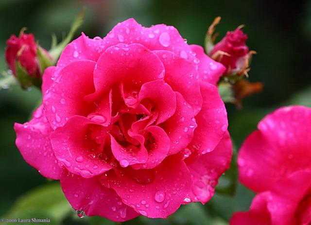 """6-25-06-- Sunday-- roses after the rain<br /> <br /> """"if the angel deigns to come it wil be because you have convinced her, not by tears but by your humble resolve, to be always willing to be a beginner.""""<br /> <br /> - ranier maria rilke"""