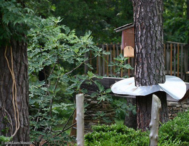 here's the bluebird house from the another angle, showing the mealy worm tray (lightwood hanging from the side) and the metal tree collar to protect the nest from invaders from the ground.