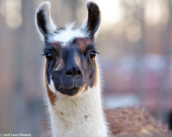 """3-24-08-- monday<br /> local llama<br /> <br /> """"life's objective is life itself.""""<br /> <br /> -- goethe"""