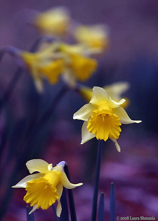 """2-26-08-- tuesday<br /> daffy daffodils<br /> <br /> """"beauty... is the shadow of God on the universe.""""<br /> <br /> -- gabriela mistral"""