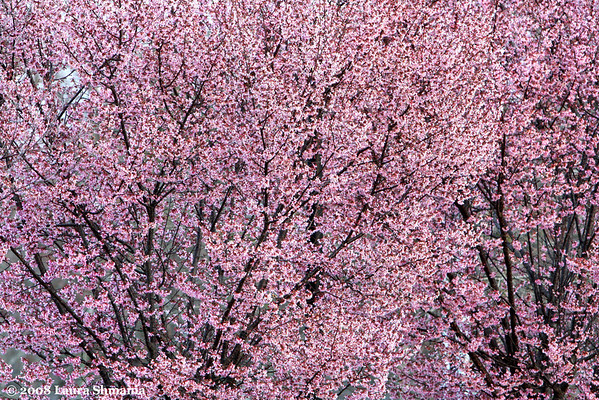 """3-16-08-- sunday<br /> blooming blossoms on flowering tree<br /> <br /> """"do you not see<br /> that you and I<br /> are as the branches of one tree?<br /> with your rejoicing <br /> comes my laughter;<br /> with your sadness<br /> start my tears<br /> love,<br /> could life be otherwise<br /> with you and me?""""<br /> <br /> -- tsu yeh, 265-316 AD"""