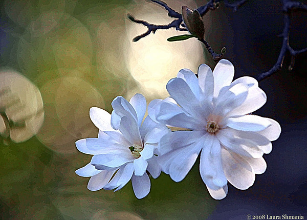 """3-10-08-- monday<br /> star magnolia blossoms<br /> <br /> """"we only have this moment,<br />  sparkling like a star in our hand... <br /> and melting like a snowflake.  <br /> let us use it before it is too late.""""<br /> <br /> -- marie beynon ray"""