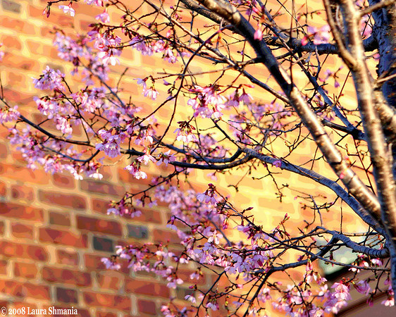 "2-18-08-- monday<br /> spring blossoms in late afternoon sun<br /> <br /> ""I only went out for a walk and finally concluded to stay out till sundown, for going out, I found, was really going in.""<br /> <br /> -- john muir"