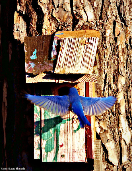 "2-19-09-- thursday<br /> bluebird sighting - outside my office window<br /> <br /> <br /> ""the bluebird carries the sky on his back.""<br /> <br /> -- henry david thoreau"