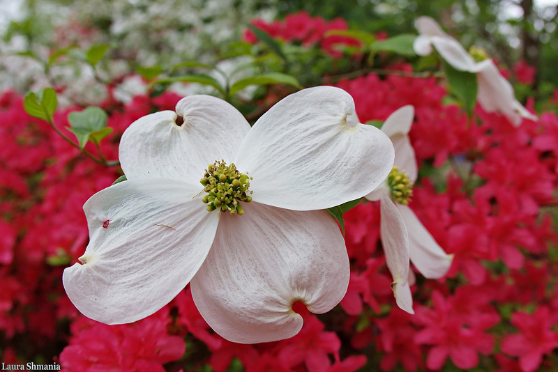"""4-15-09-- wednesday<br /> dogwood and azaleas- unc arboretum<br /> <br />  """"we should all be thankful for those people who rekindle the inner spirit.""""<br /> <br /> -- albert schweitzer"""