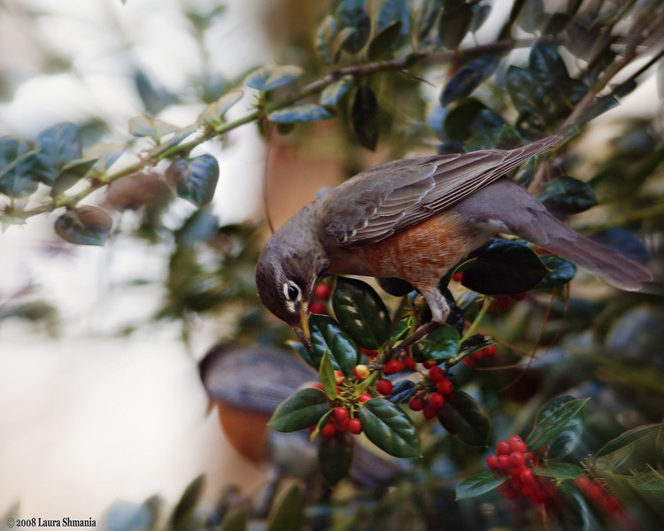 """3-5-09-- thursday<br /> a flock of robins descended on this shrub to eat the berries.<br /> <br /> """"do not anticipate trouble, or worry about what may never happen. keep in the sunlight.""""<br /> <br /> -- benjamin franklin"""