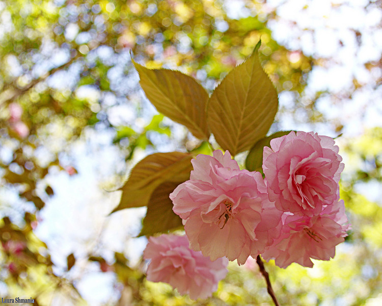 """4-13-09-- monday<br /> cherry blossoms<br /> <br /> """"flowers seem intended for the solace of ordinary humanity.""""<br /> <br /> -- john ruskin"""