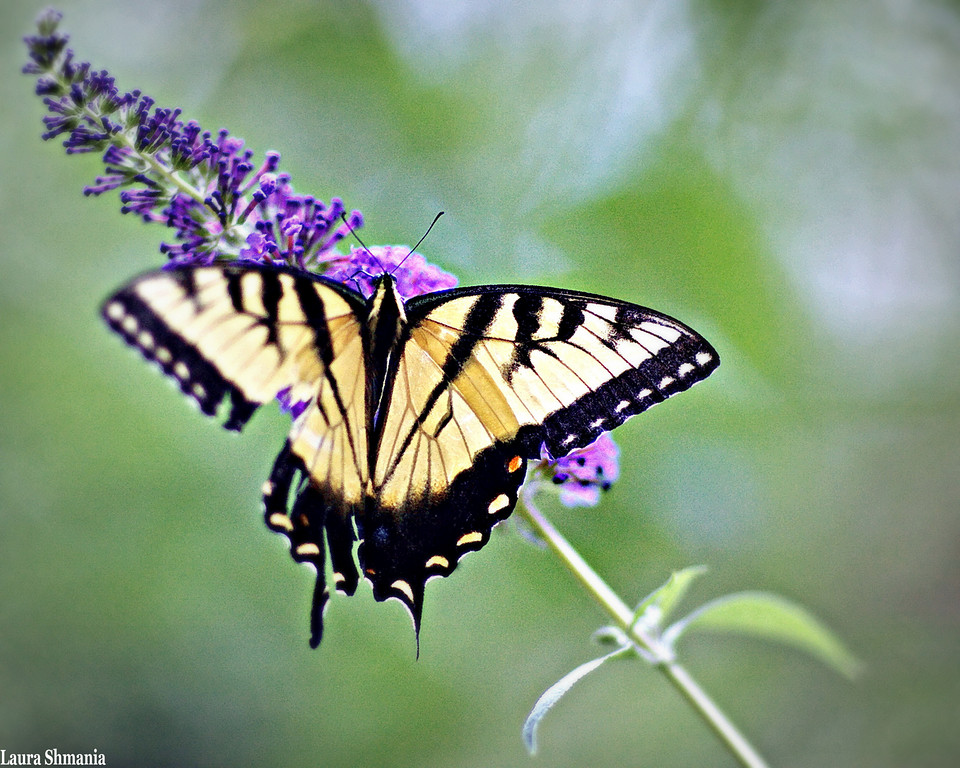 "6-30-09-- tuesday<br /> first butterfly of the season!<br /> <br /> ""never does nature say one thing and wisdom another.""<br /> <br /> -- juvenal"