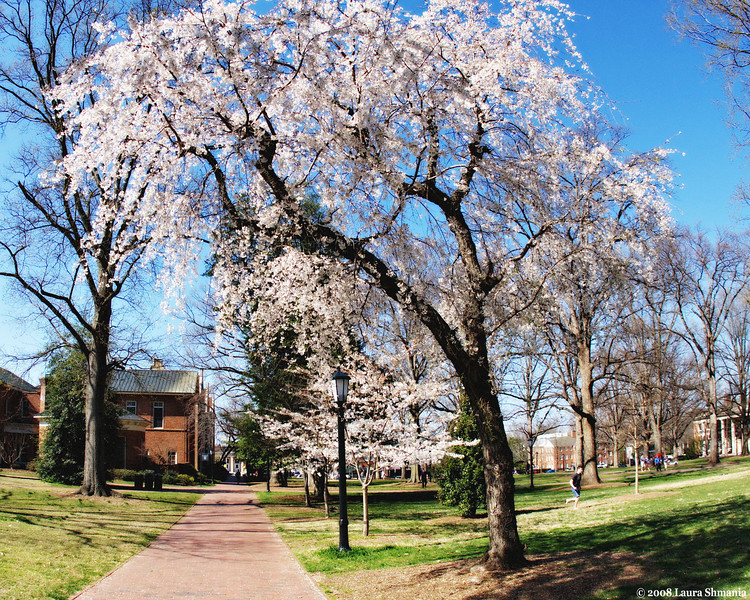 """3-22-09-- sunday<br /> on campus- lovely blossoming trees and a """"carolina blue"""" sky<br /> <br /> """"oh, it's a Carolina day""""<br /> <br /> lyrics from livingston taylor"""