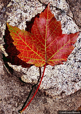 """10-19-08-- sunday<br /> first leaf of the season!<br /> <br /> <br /> <br /> """"nothing endures but change.""""<br /> <br /> -- heraclitus(540 BC - 480 BC)"""