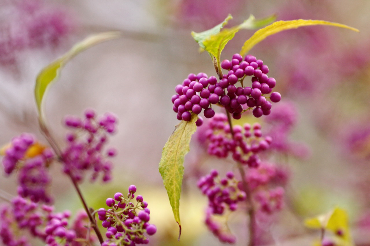 11-25-09-- wednesday<br /> at the unc arboretum- japanese beautyberry<br /> happy thanksgiving !  hoping there is something of beauty in your day !