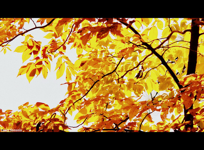 10-28-09-- wednesday<br /> home again to the stunning shades of carolina gold!!  had a great trip - inspite of coming down with walking pneumonia- am on the  mend...   will upload photos over the next few days of the beautiful seaport in mystic connecticut, where I visited with my daughter.