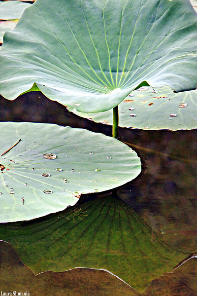8-14-09-- friday<br /> lily pads and reflections