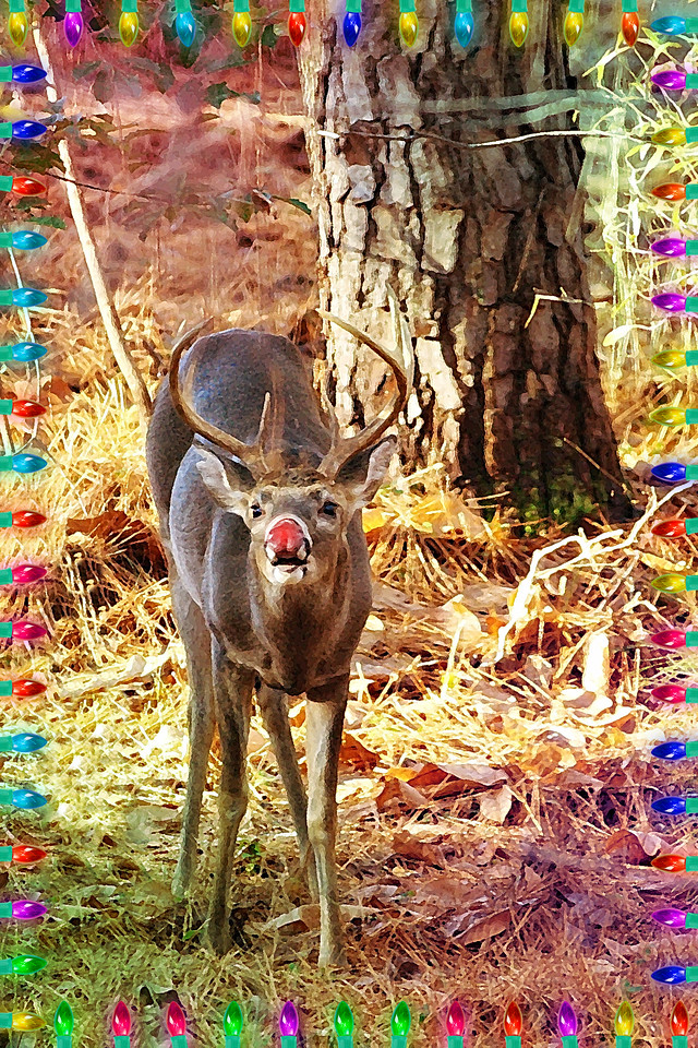 12-6-09-- sunday<br /> ok- true confessions- the nose and colored lights are post processed! (surprised?)  the deer with antlers was truly in my backyard!!  um...  happy holidays...