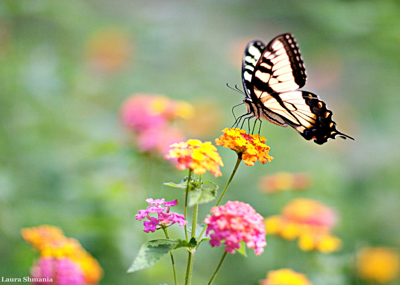 9-2-09-- wednesday<br />  the butterflites have been so prolific this season!!  I will be off-line for several days- back soon!