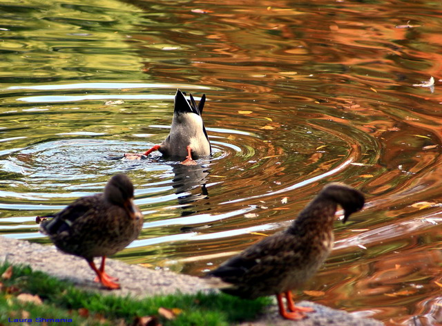 "10-19-06-- Thursday<br /> ducks in Boston Garden duck pond<br /> <br /> ""if you can give your son or daughter <br /> only one gift, <br /> let it be enthusiasm.""<br /> <br /> <br /> -- bruce barton"