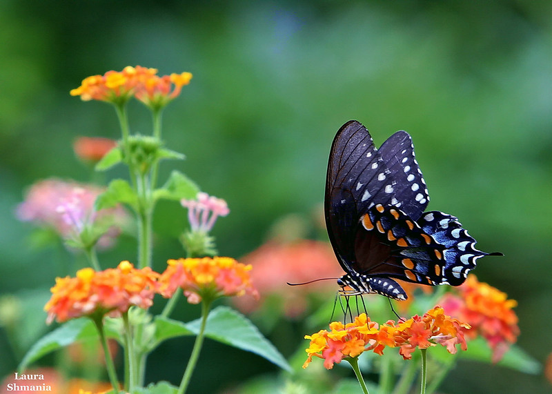 """8-17-07-- Friday<br /> <br /> <br /> """"butterflies are self-propelled flowers.""""<br /> <br /> -- r.h. heinlein"""