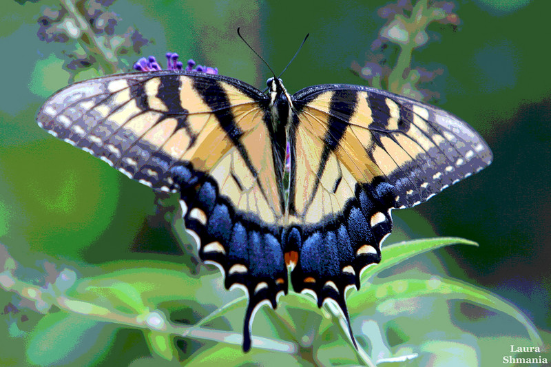 """8-13-07-- Monday<br /> <br /> """"through the fact that the matter of the butterfly's wing is imbued with colour, it is the most spiritualized of all earthly substances...<br /> <br /> and just as we marvel at its shimmering colours as we follow it, so also can we marvel at its own fluttering joy in these colours. this is something which it is of fundamental importance to cultivate in children, this joy in the spirituality fluttering about in the air, which is in fact fluttering joy, joy in the play of colours... """"<br /> <br /> -- rudolf steiner<br /> from - man as symphony of the creative word"""