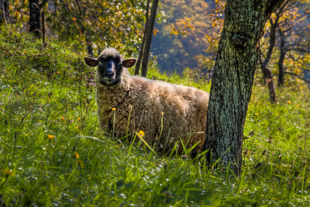 Hiding SheepIt was quite easy to take a HDR of a sheep. The moment I came closer they stopped moving and just looked at me :)HDR from three shots, taken with Canon 450D with Sigma 18-200mm lens, from a tripod.