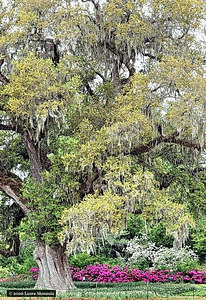 400  year old live oak