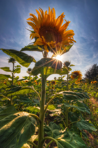 Two suns  One of the great things, you can do with HDR, is to take photos of the sun and still have nice exposure in the whole shot. This is one of those occasions.   Again I have only a small idea where this was taken. I took it last week while traveling, and we just stopped by a random sunflower field along the way. I took only few shots, as there were so many bees in the field, I didn't want to push my luck :)  HDR from three shots, taken with Canon 450D with Sigma 10-20mm lens, from a tripod.